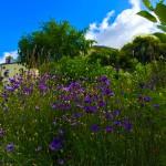 fleurs-bleues-parc-daily-belleville